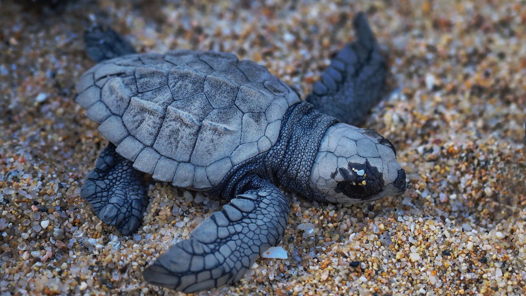 Frischgeschlüpfte Babyschildkröte