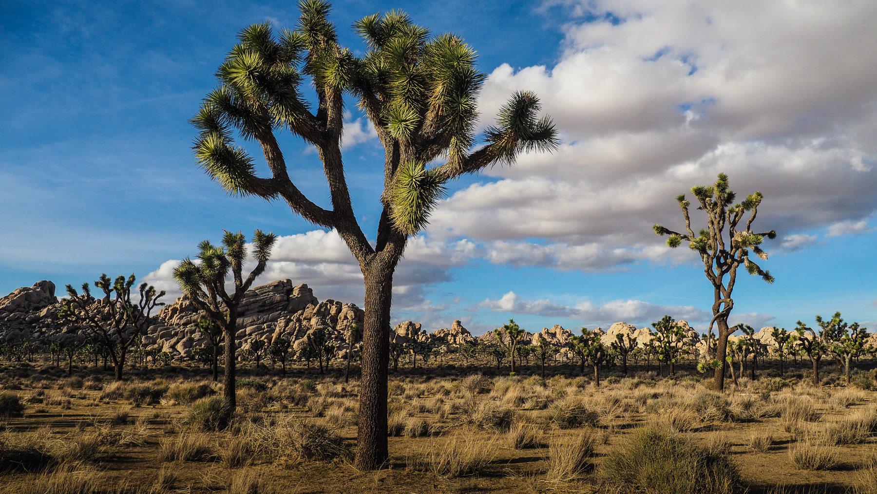 Eine weite Ebene voller Joshua Trees und runden Felsen