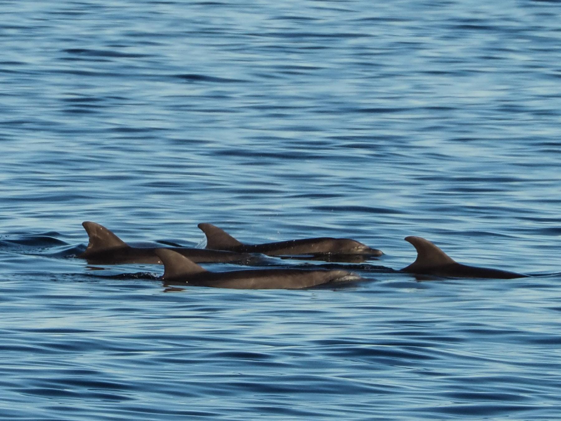 Jagende Delphine ziehen durch die Bucht