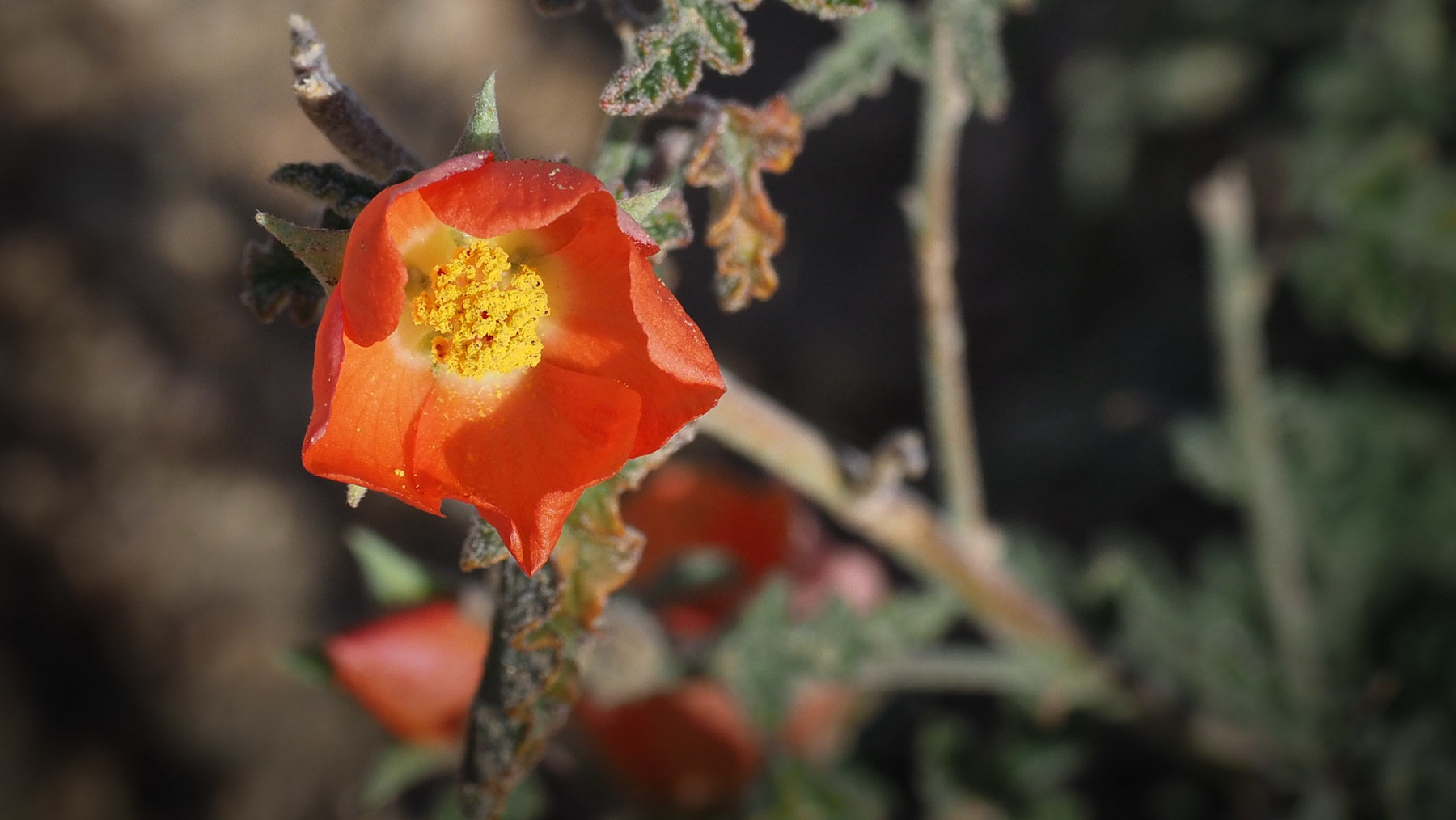 Ein der seltenen Blüten in der Wüste