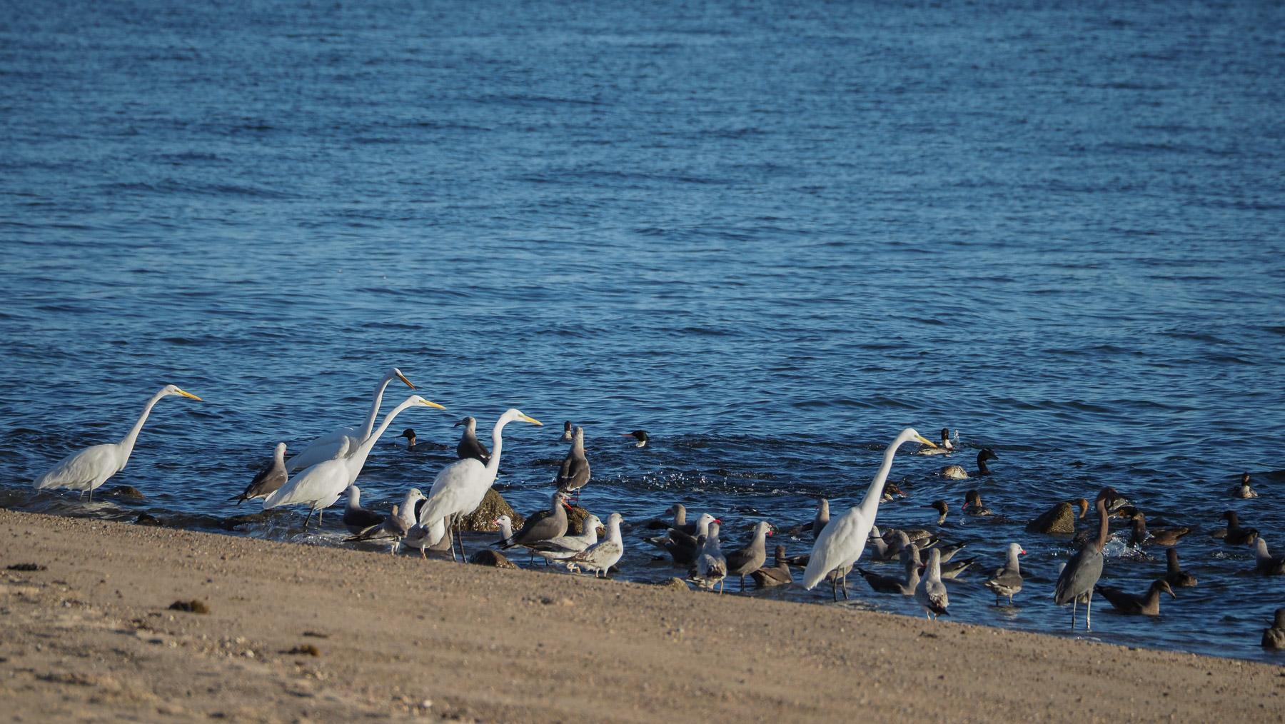 Früstücksbuffet für Seevögel an der Baja de los Angeles