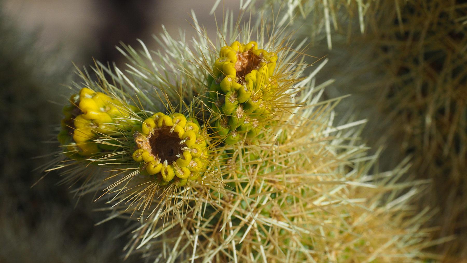 Kaktus Früchte