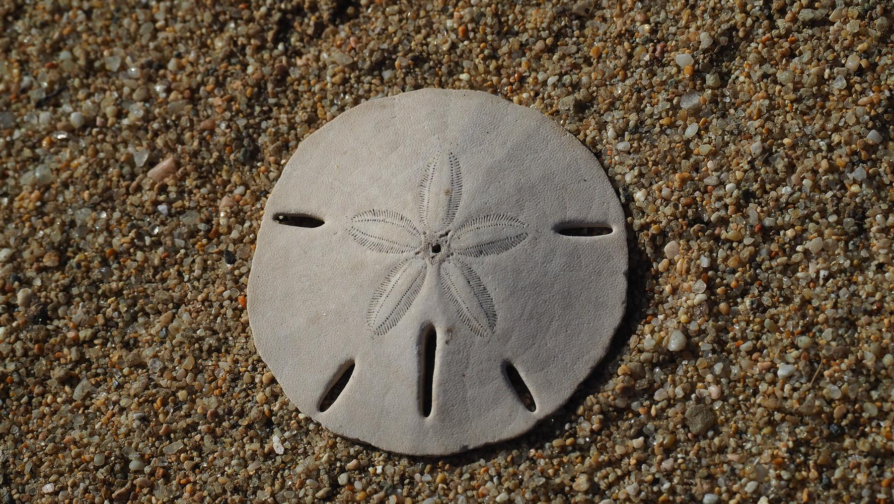 Sanddollar - alternative Währung