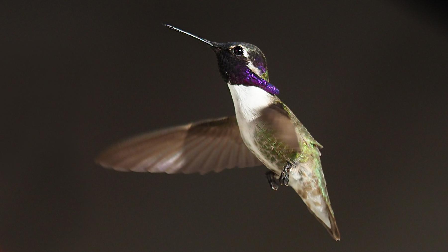 Kolibri an John's Tränke