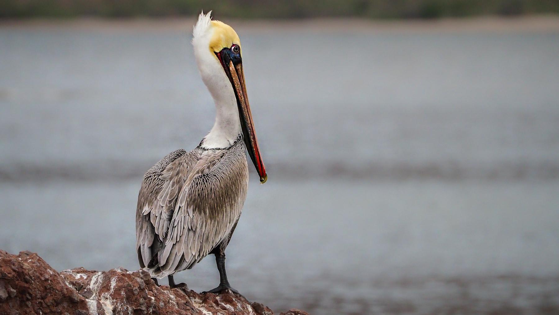 Lieblingsvogel Pelikan