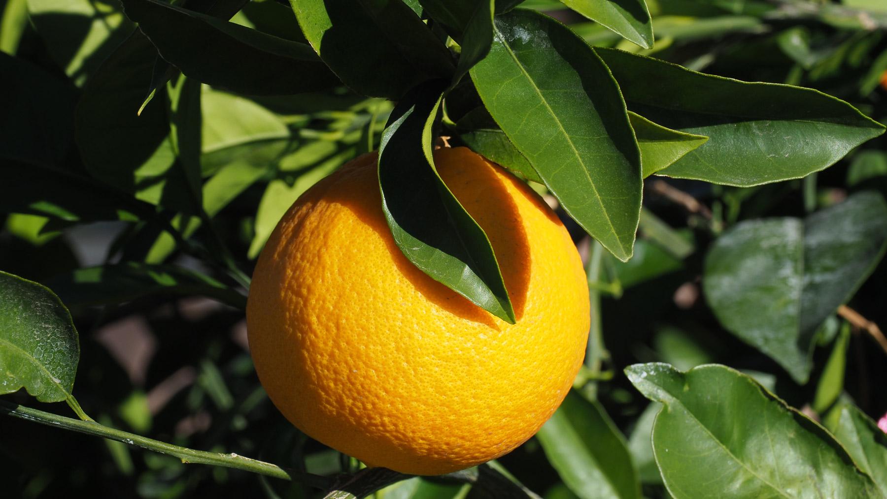 Ihr Orangenbaum im Garten ist voller Früchte
