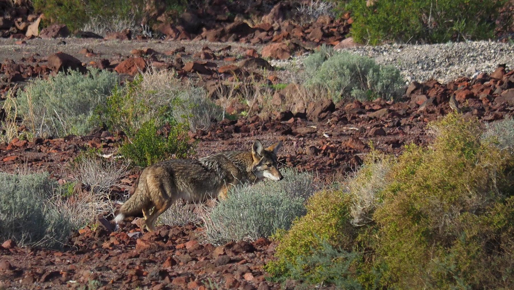 Besuch vom Kojoten
