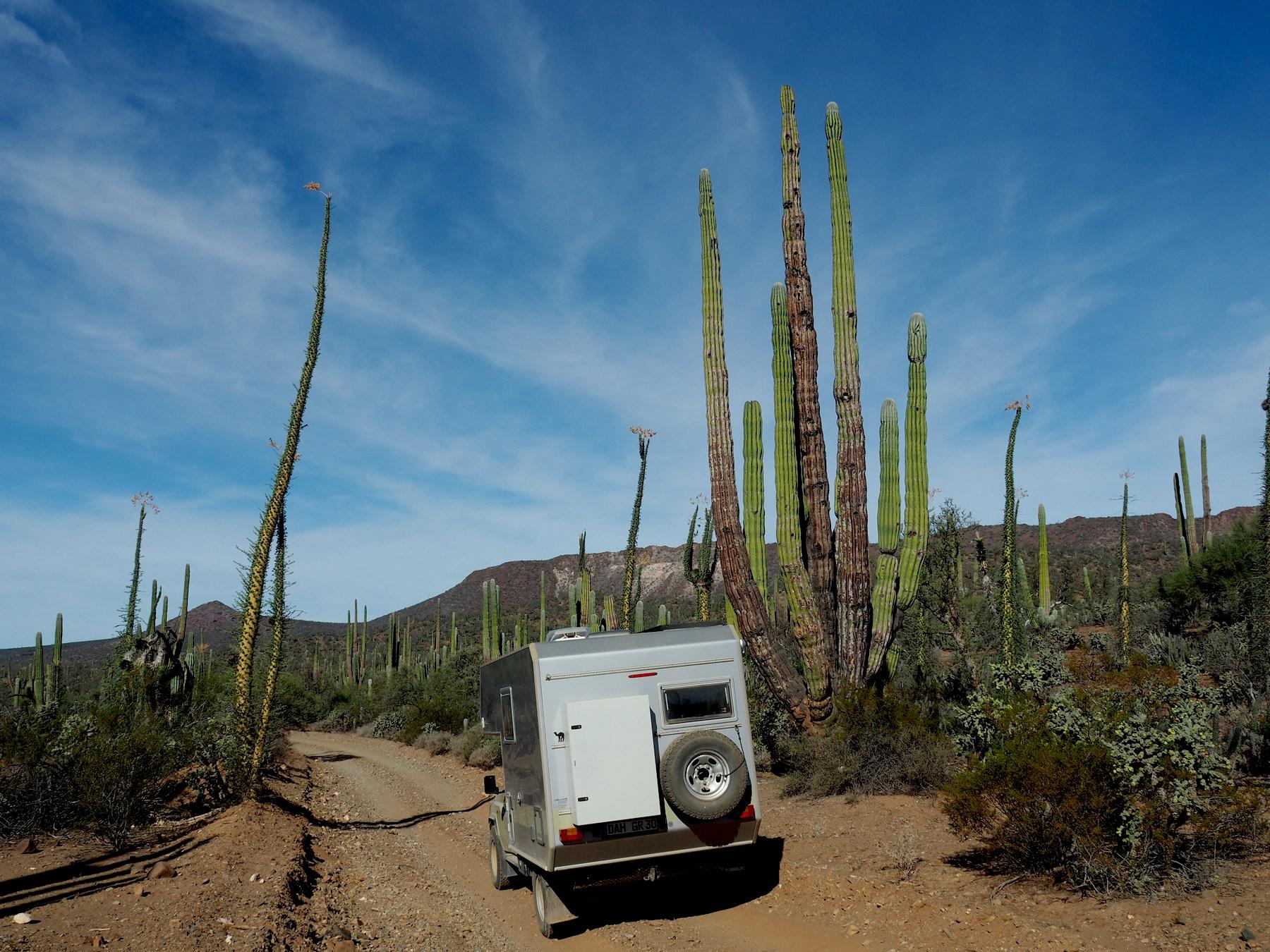 Immer wieder Kaktus-Riesen
