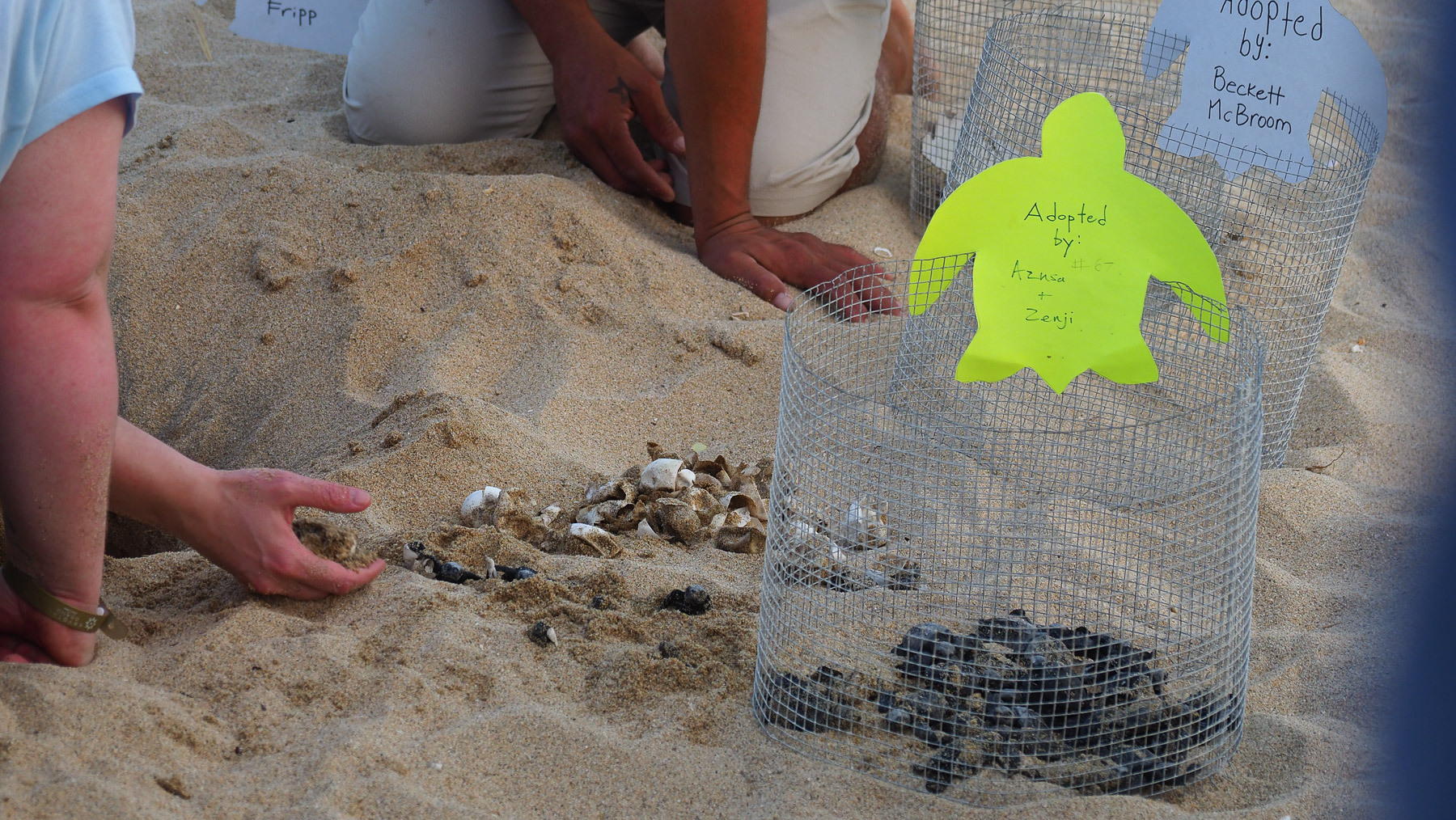 Die Geburtshelfer befreien die Frischgeschlüpften aus dem Sand