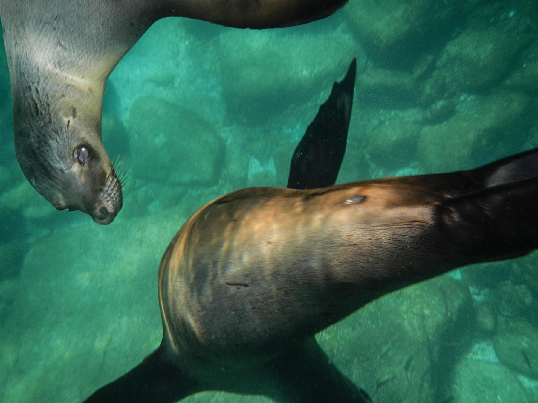 Die verspielten Jungtiere der Seelöwen haben ihren Spaß mit uns