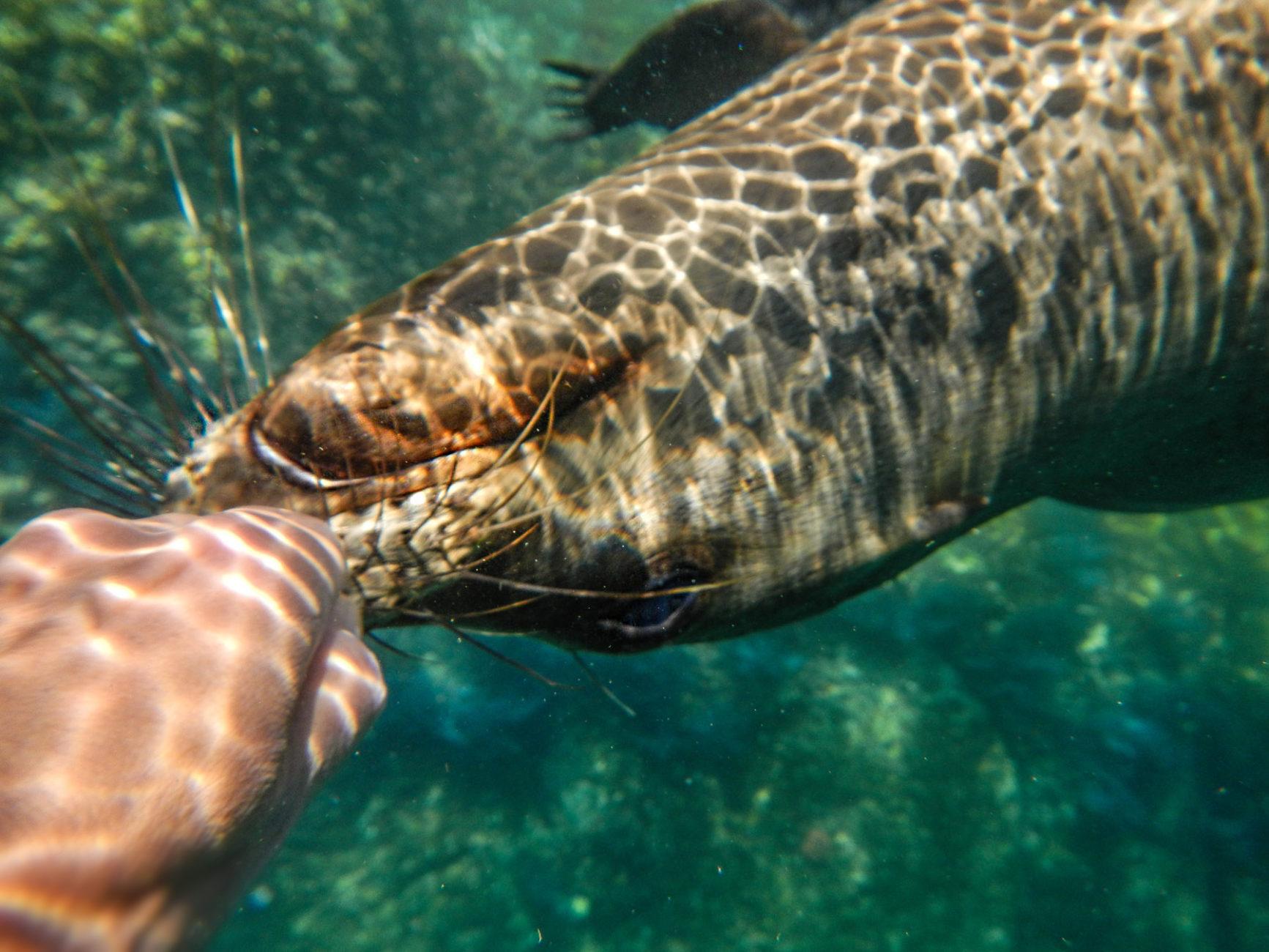 Voller Neugierde kommt  ein junger Seelöwe ganz nah heran