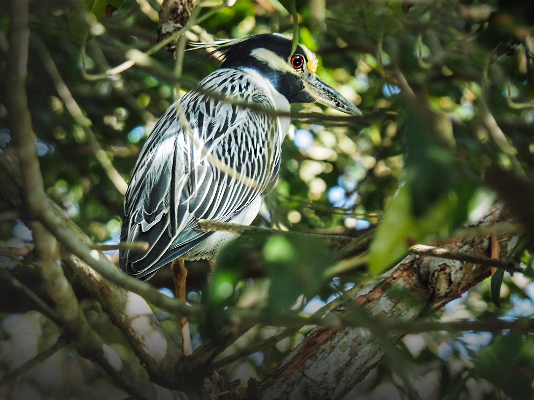 Hübscher kleiner Vogel in den Mangrovensümpfen