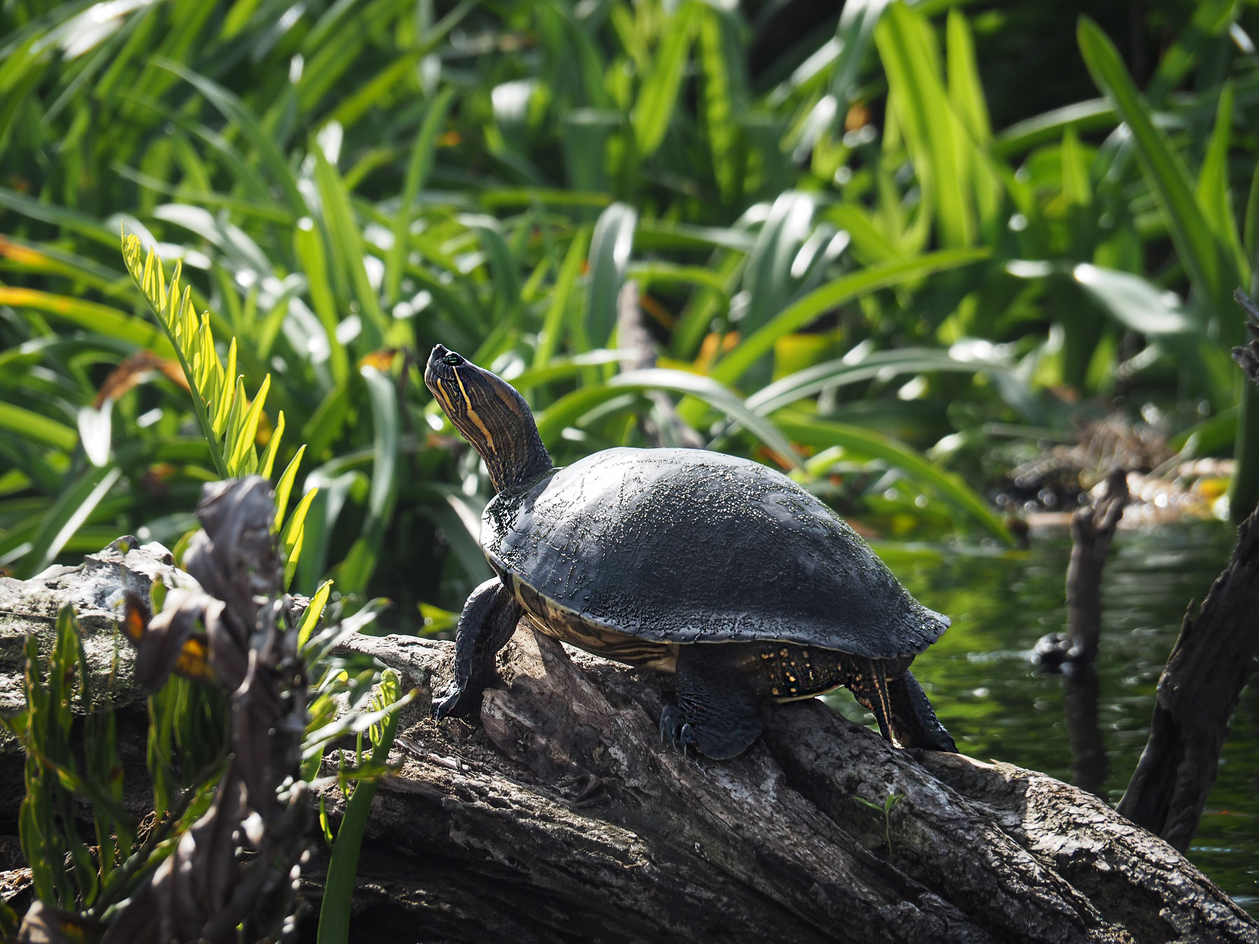 Viele Schildkröten sehen wir bei unserem Ausflug ...