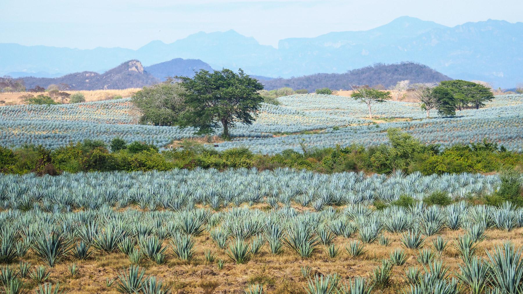 Blaue Agavenfelder für die Herstellung von Tequila