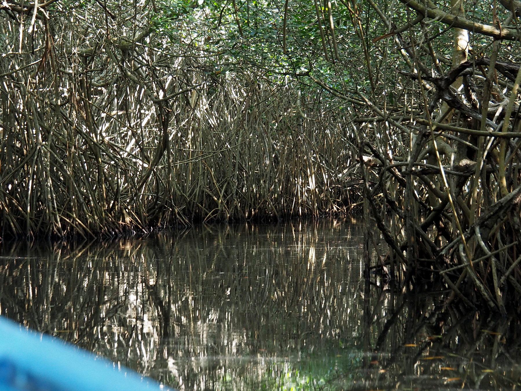 Anfangs geht es durch dichte Mangroven