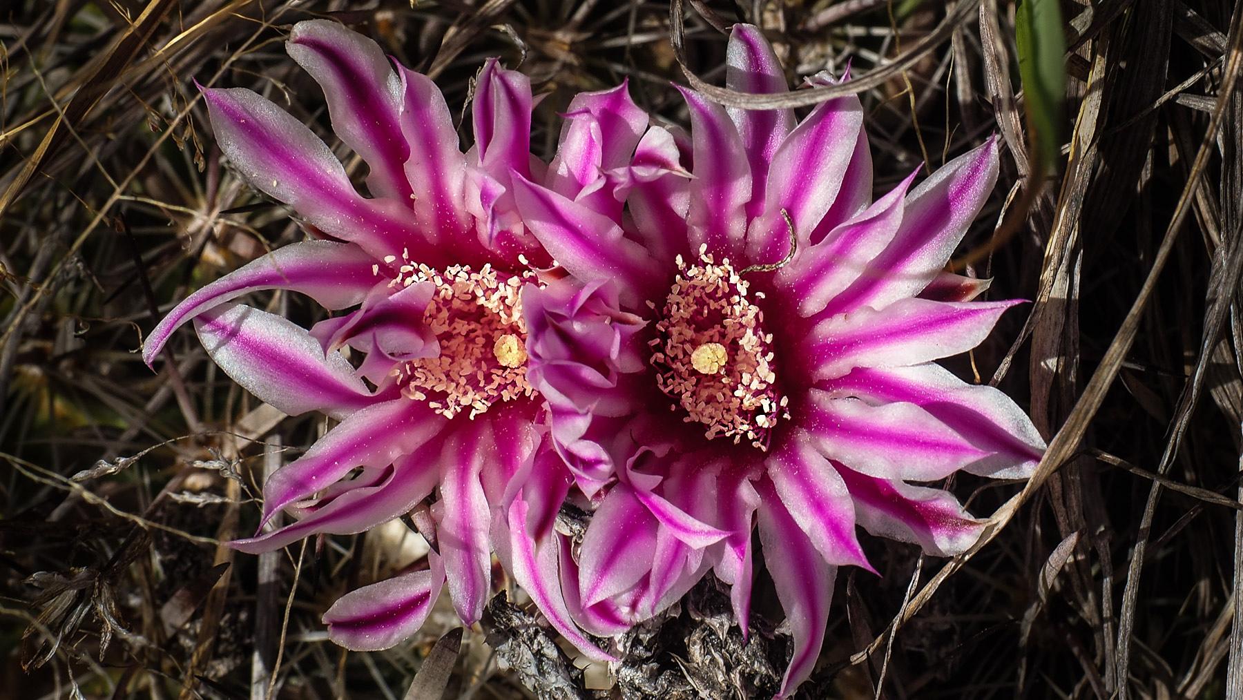 Was für eine schöne wilde Kaktusblüte im Parque de Los Organos