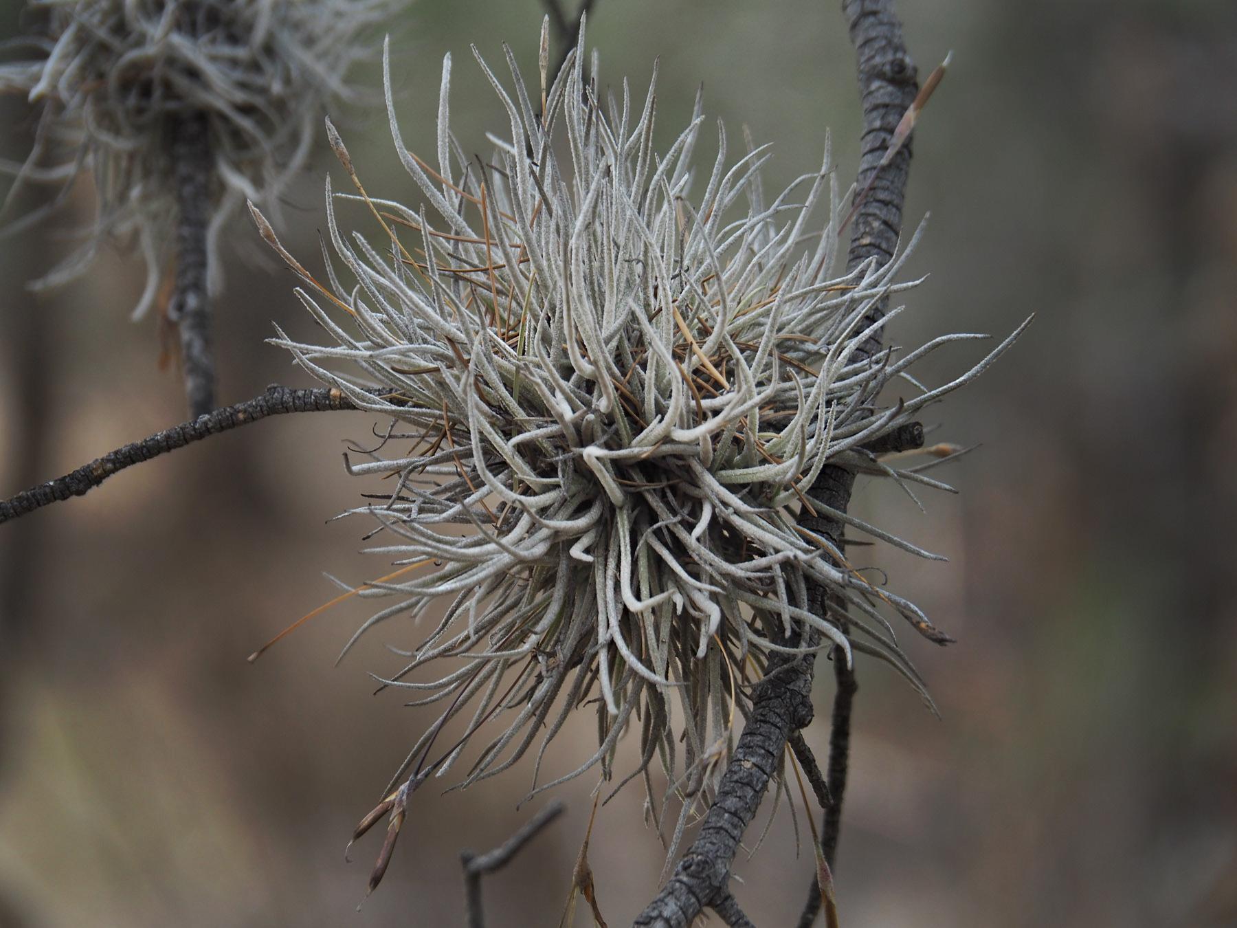 Tillandsien wachsen überall auf den Bäumen und Felsen
