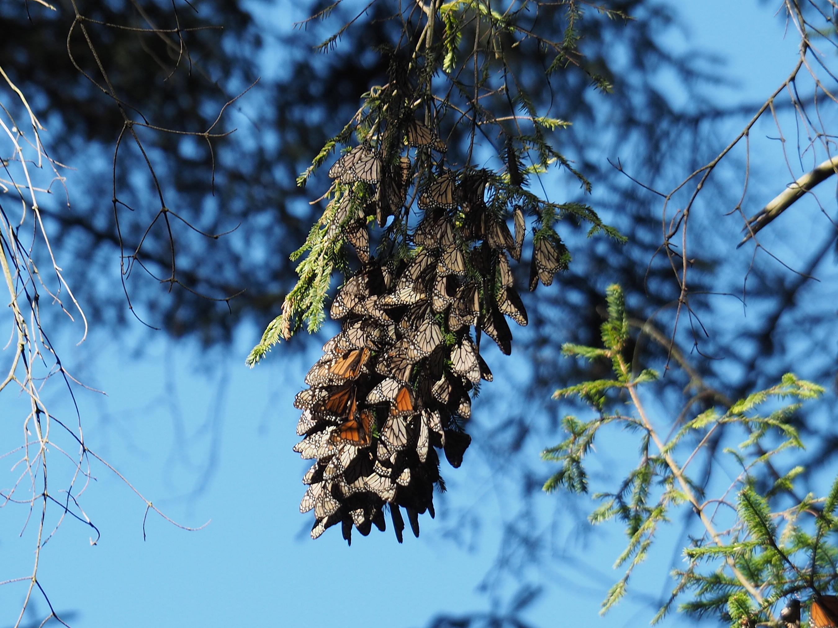 Kleine Traube von Monarch-Faltern