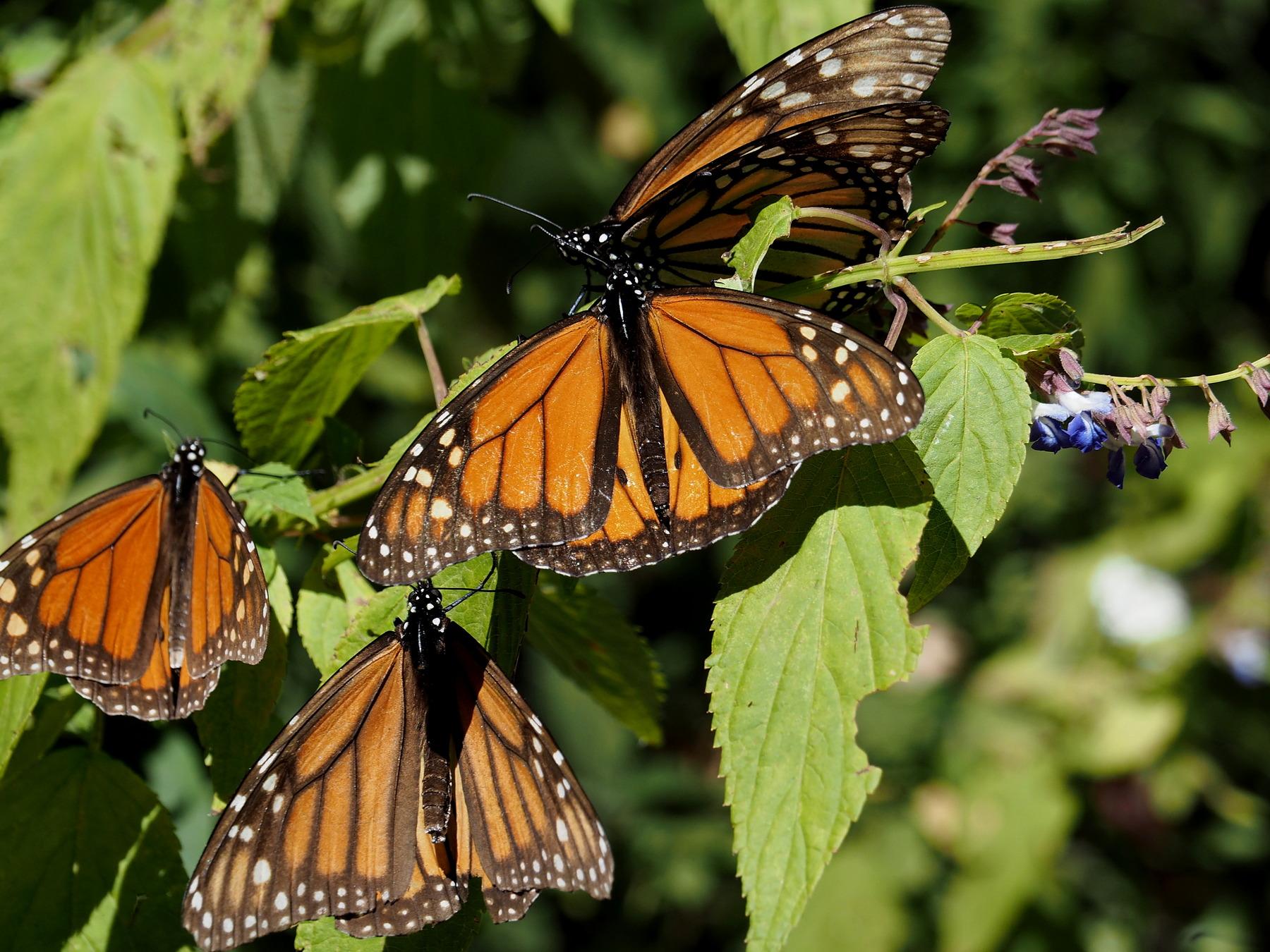Monarch-Falter unter sich