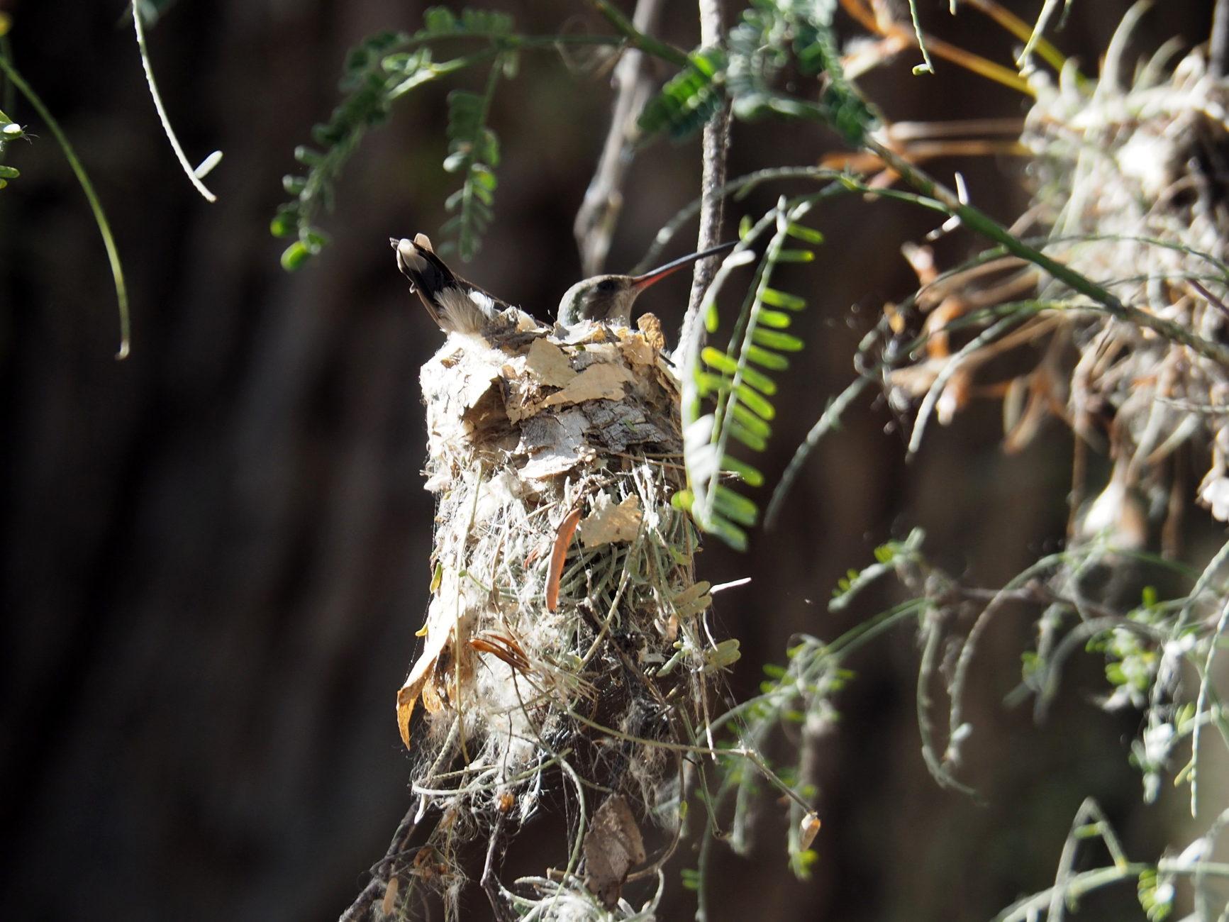 Brütender Kolibri