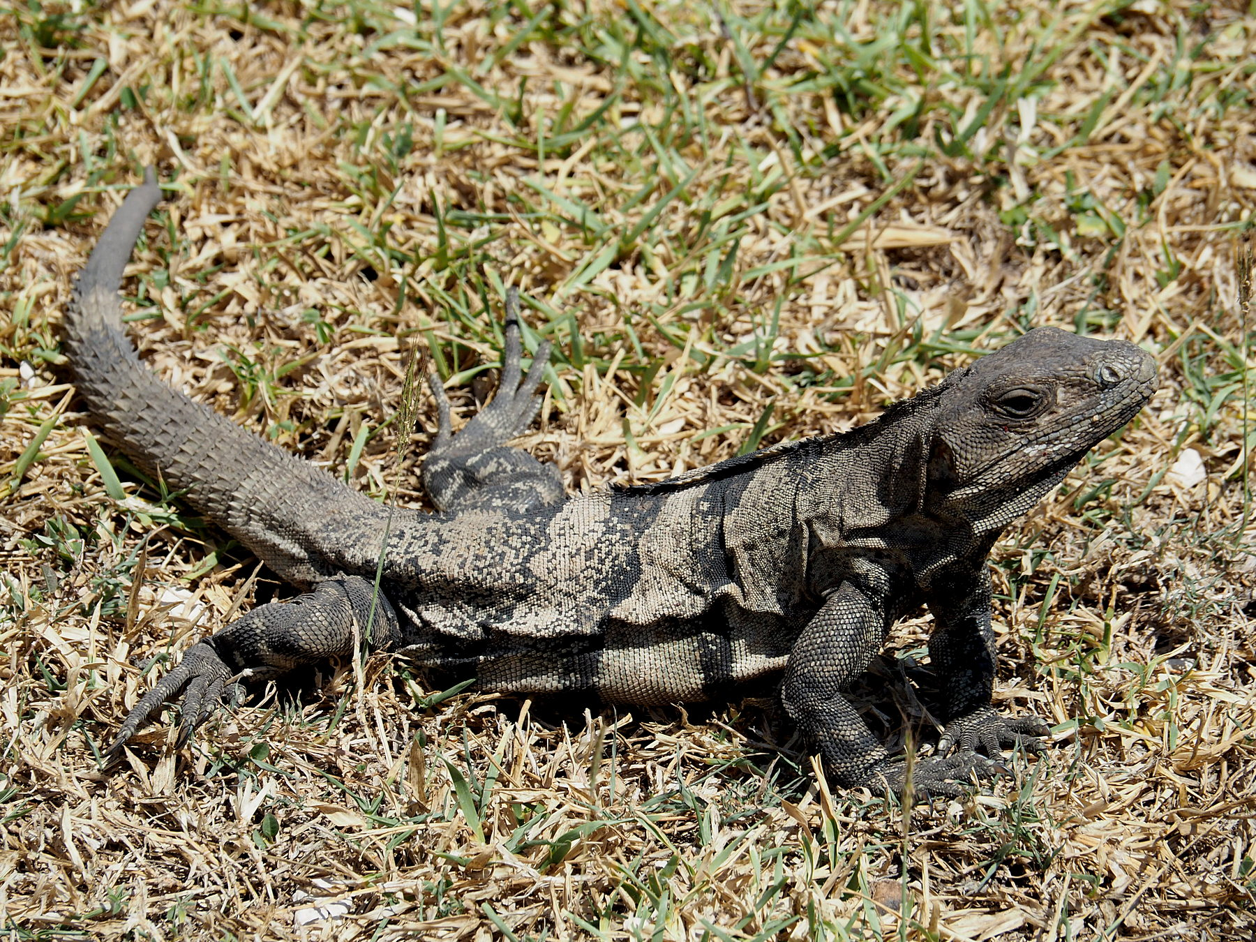 Standard-Leguan von Yucatan