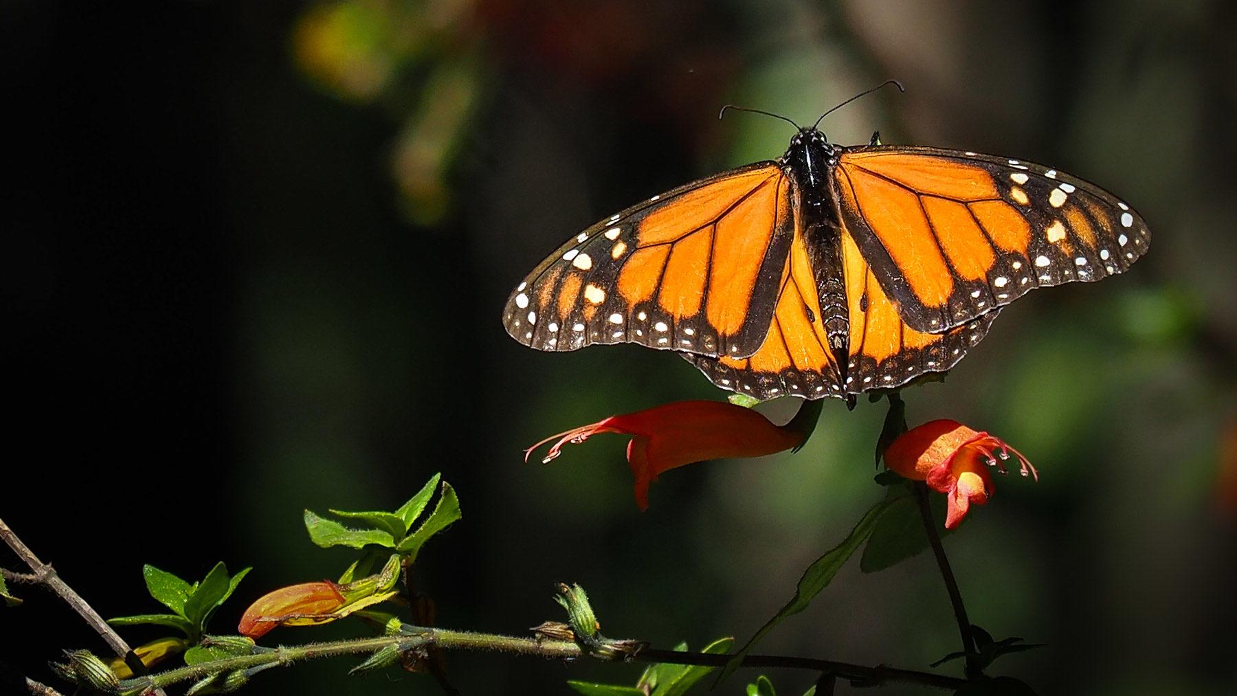 Ein hübscher Monarchfalter
