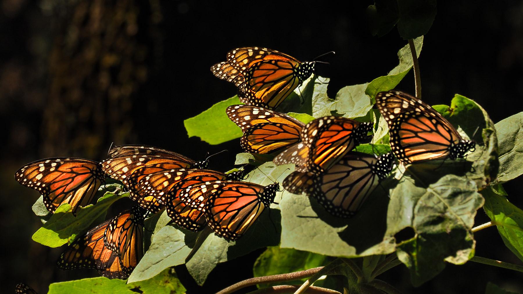 Viele hübsche Monarchfalter