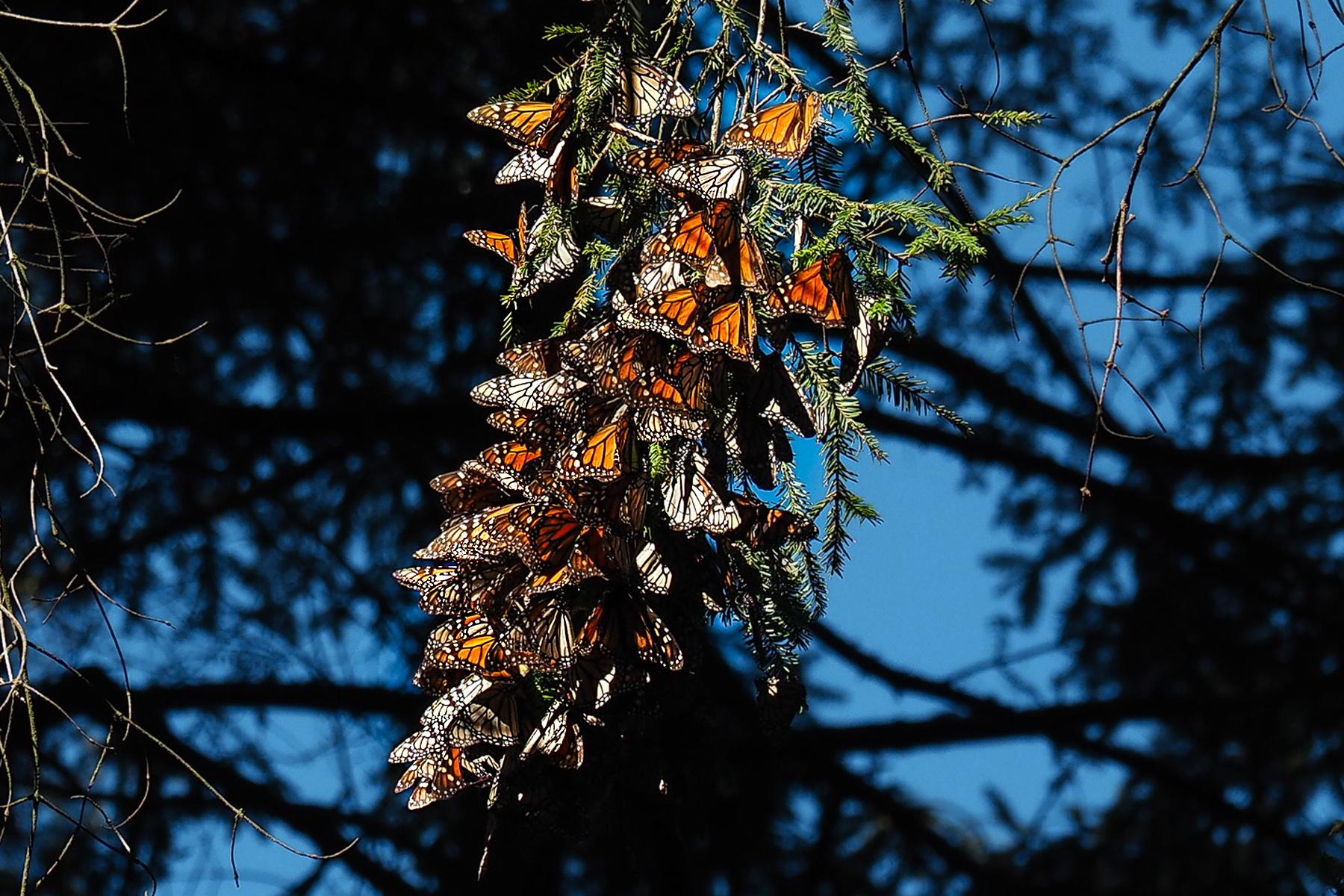 Eine Traube Schmetterlinge