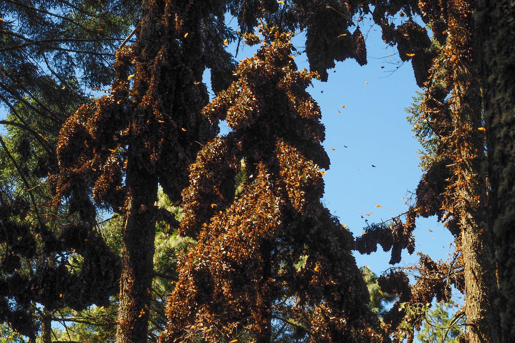 Komplett bedeckte Tannen mit gruselig vielen Schmetterlingen