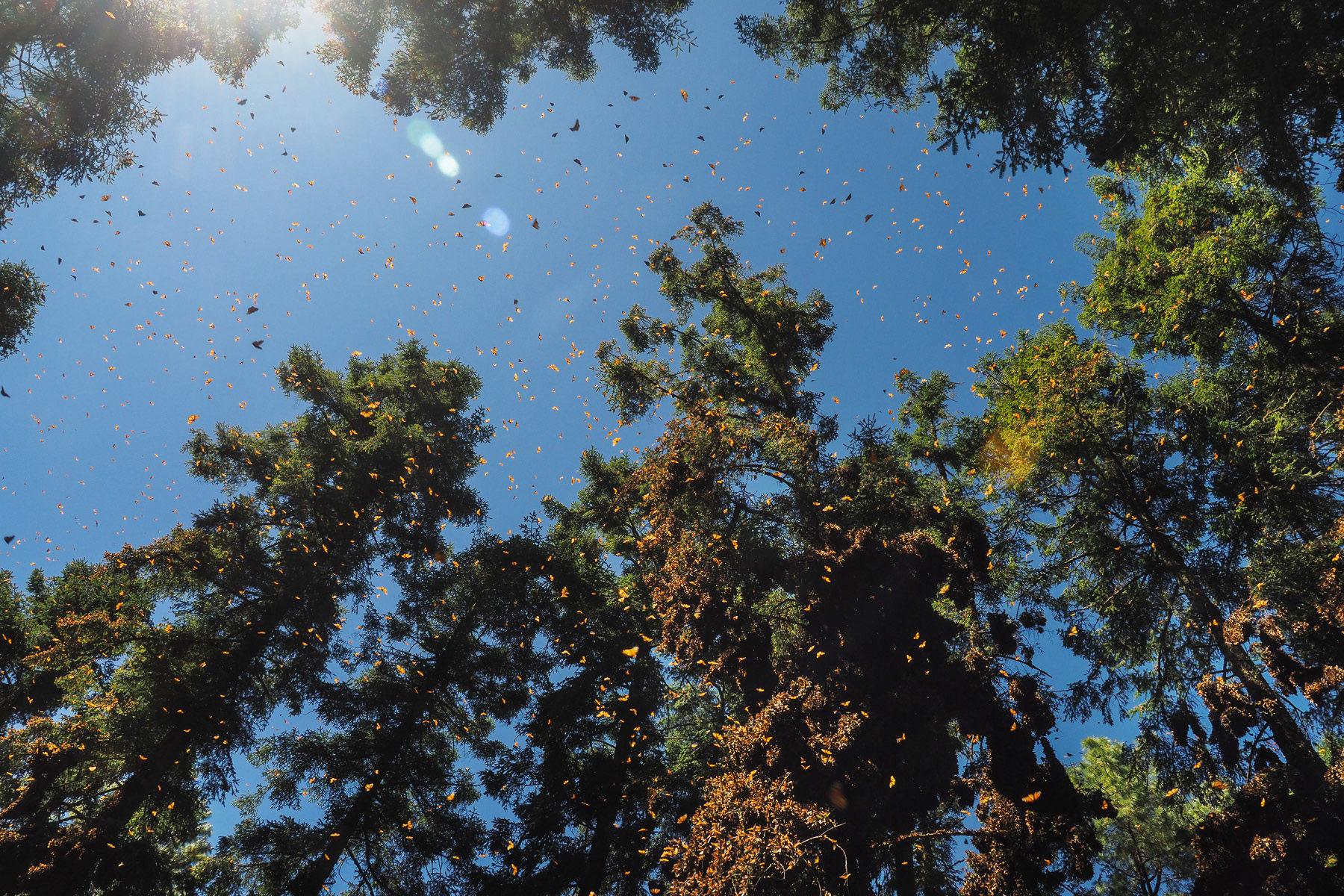 Mit den wärmenden Sonnenstrahlen fangen die Monarchfalter an zu fliegen. Beeindruckendes Schauspiel