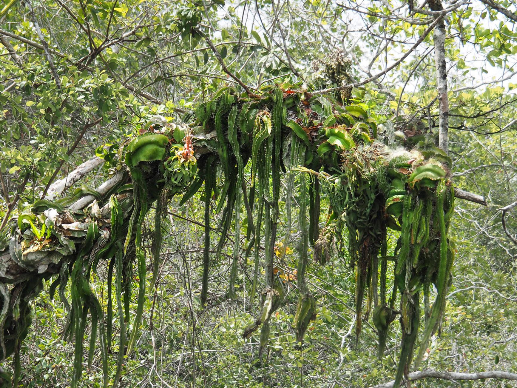 Ein Schlangenkaktus umschlingt einen Baum! Sachen gibt's...
