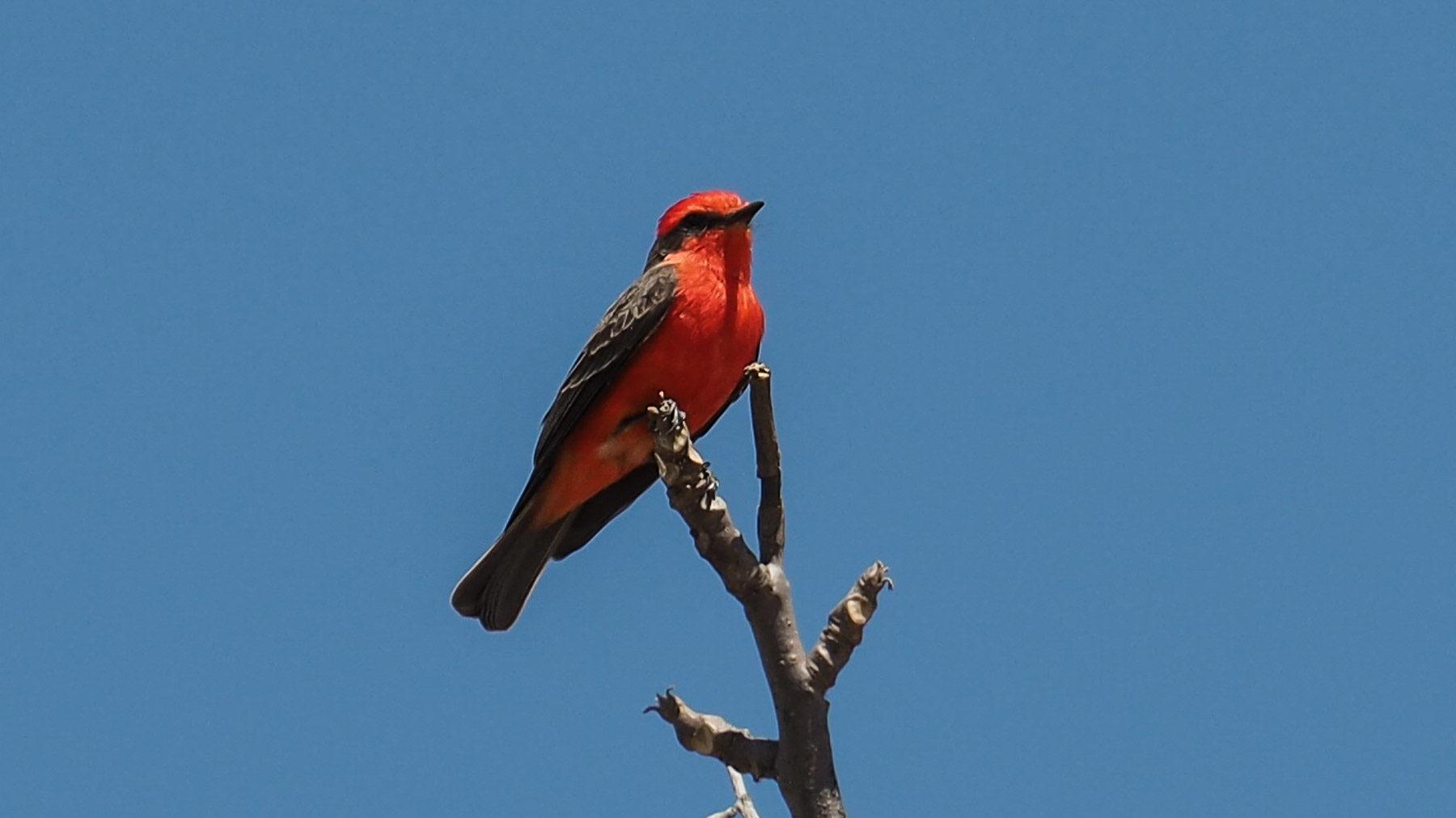 Ein kleiner roter Fliegenfänger