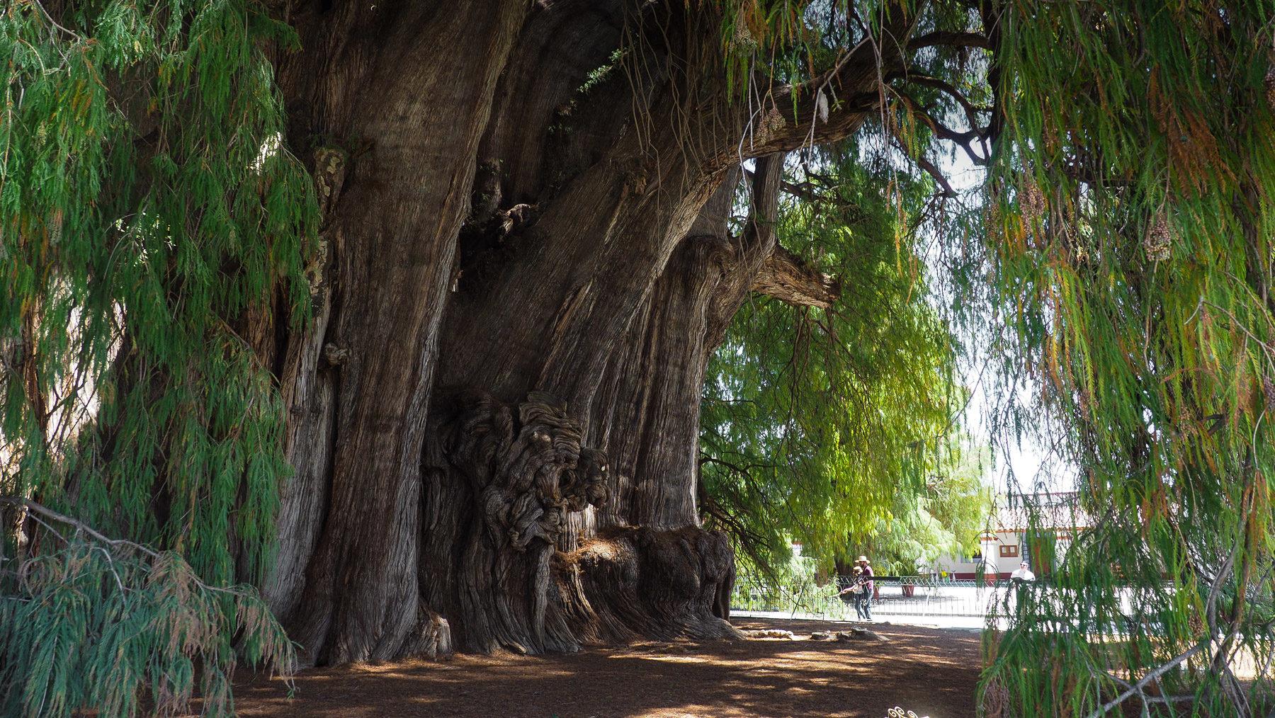 Der dickste Baum der Welt in Tule bei Oaxaca