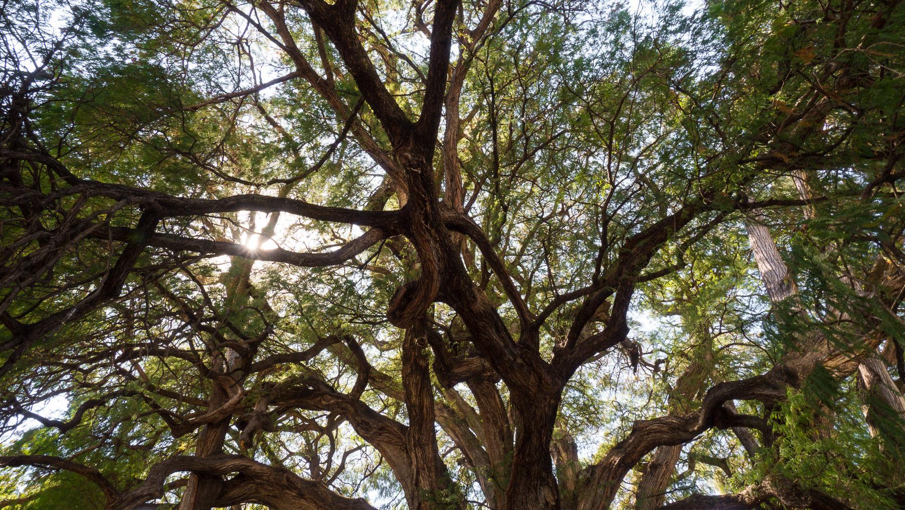 Der dickste Baum, eine uralte Sumpfzypresse