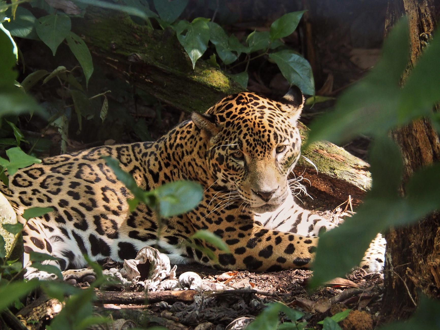 Jaguar im Belize Zoo, es gibt noch einige wildlebende