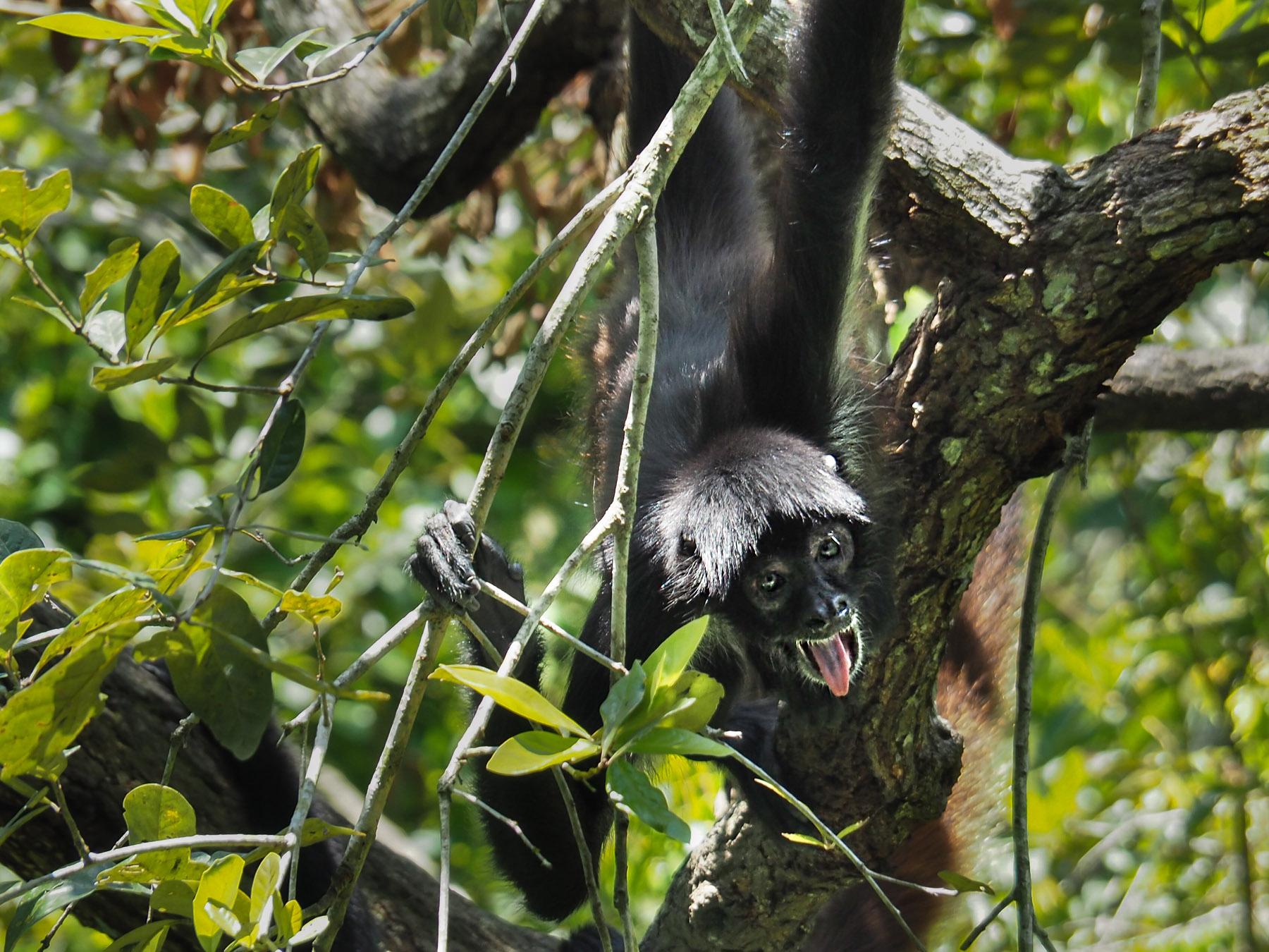 Lustiges Klammeräffchen (Foto im Zoo) - trifft man immer wieder bei den Ruinen im Dschungel