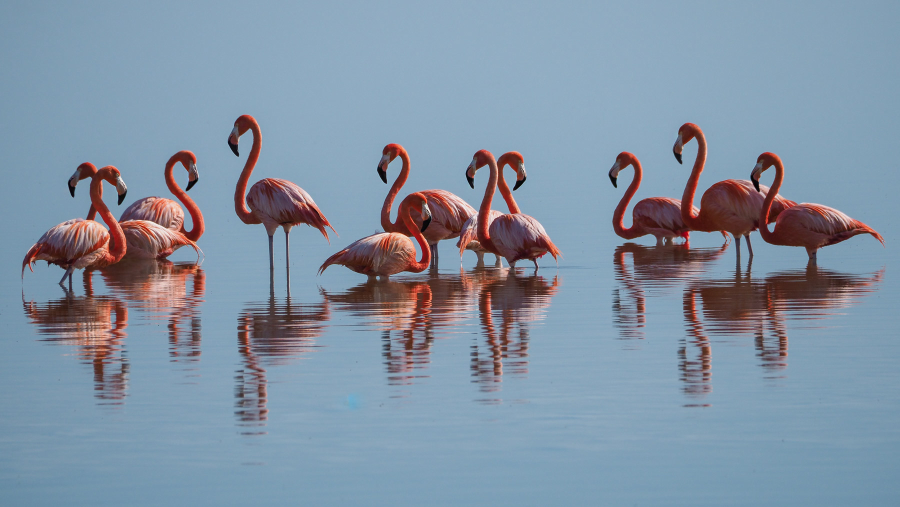 Besonders intensiv rosa Flamingos