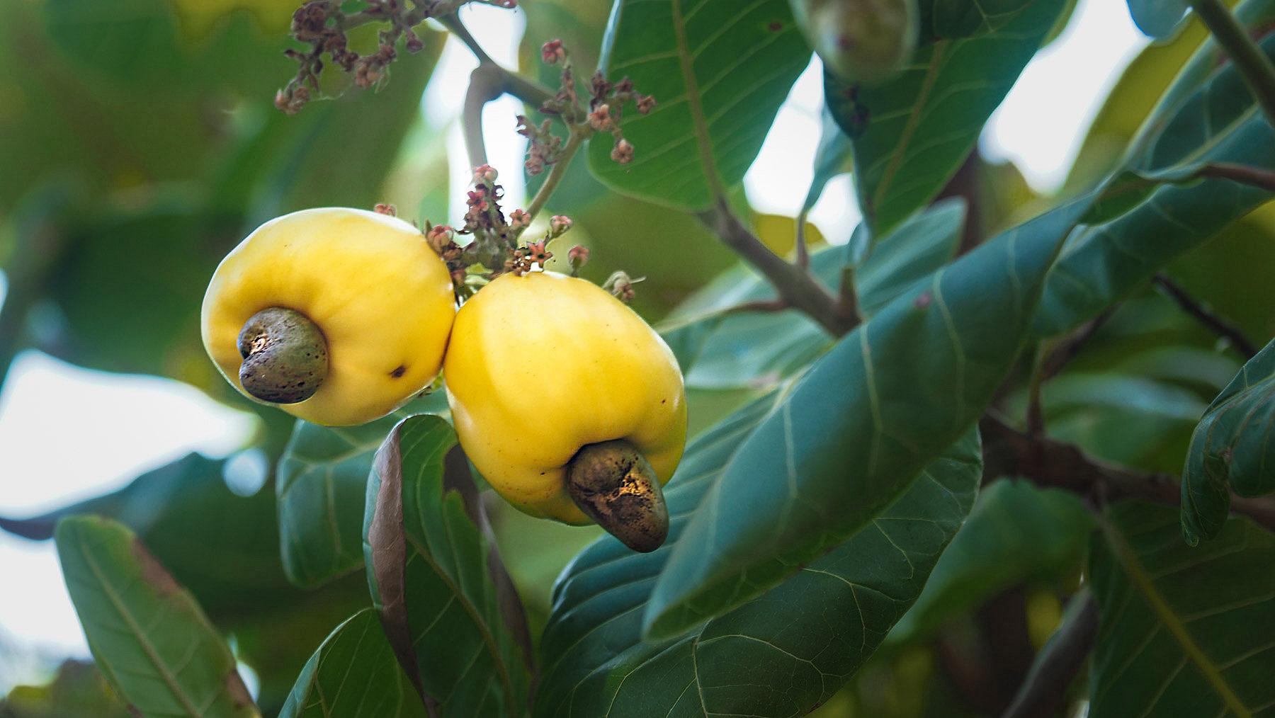 Cashew Nüsse am Baum, die Nuss hängt außen an der Frucht!