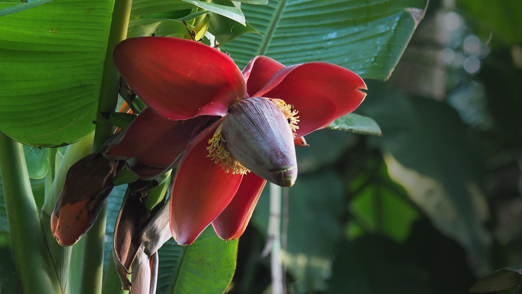 Bananen-Blüte