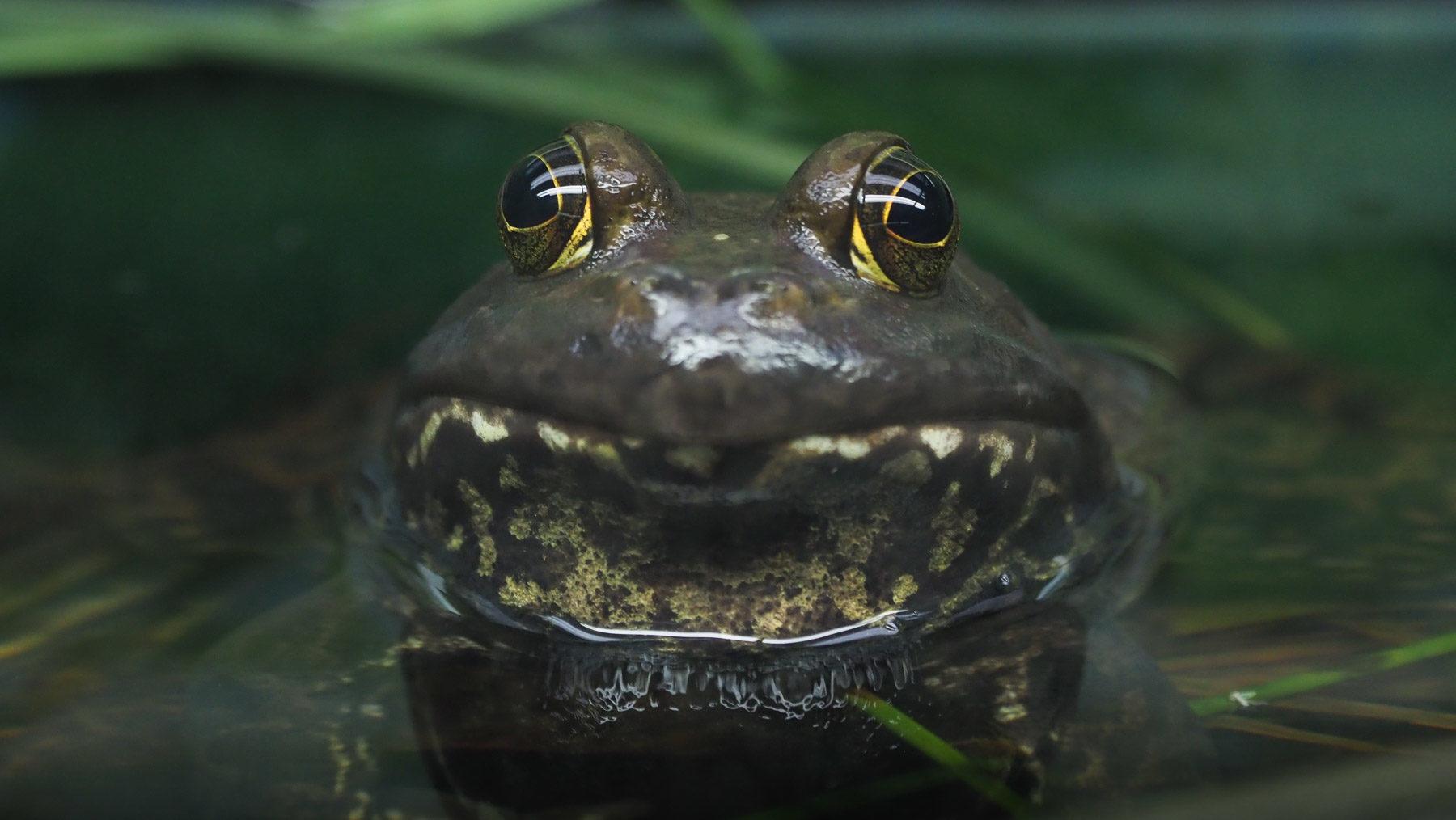 Sumpfkröte