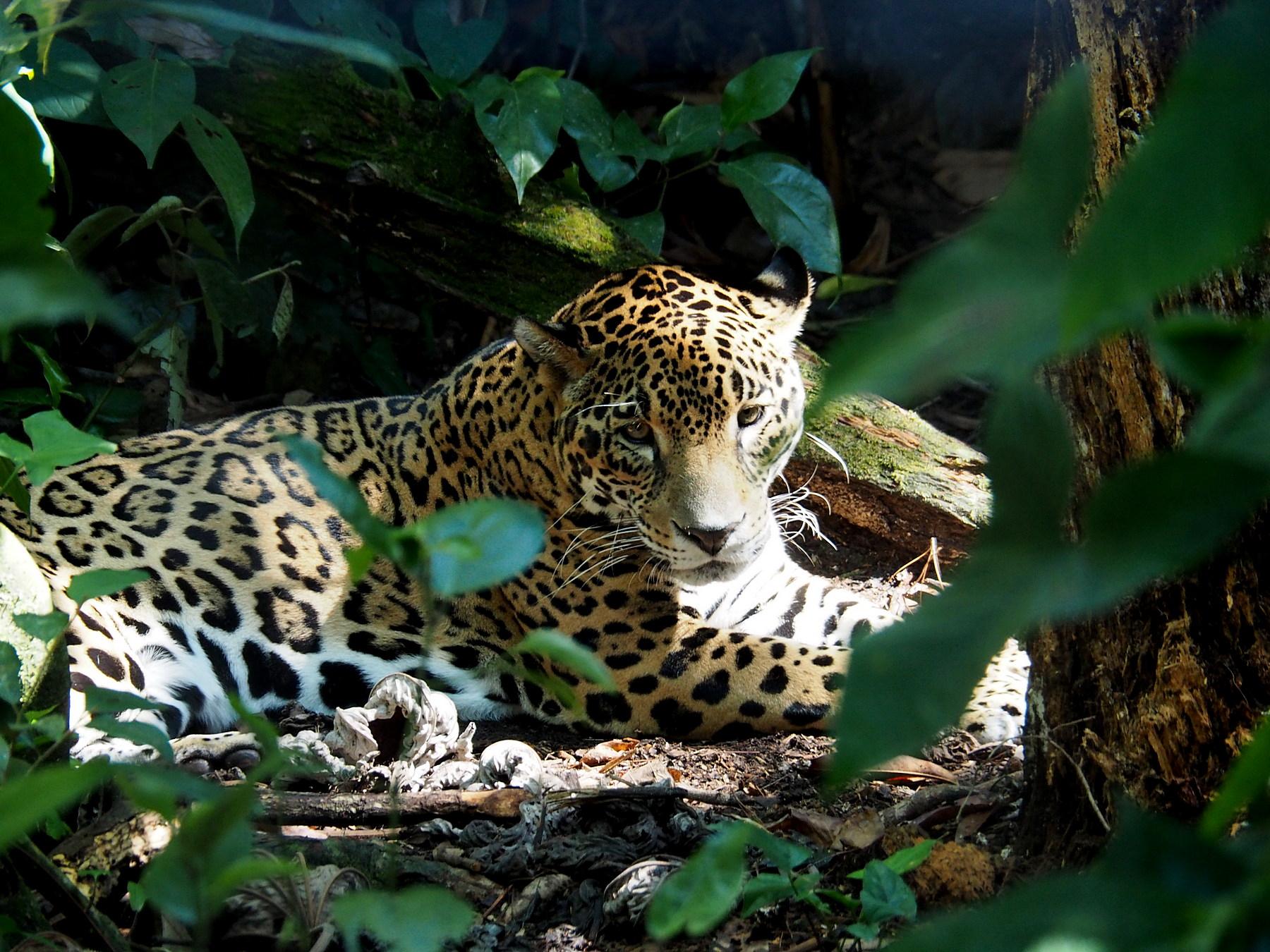 Der Jaguar, wunderschön und gefährlich
