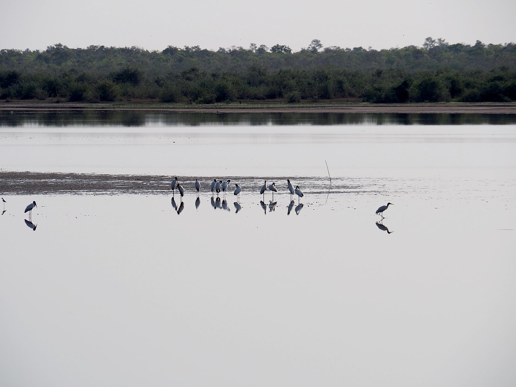 Seltene Jakuti Störche in der wieder aufgefüllten Lagune