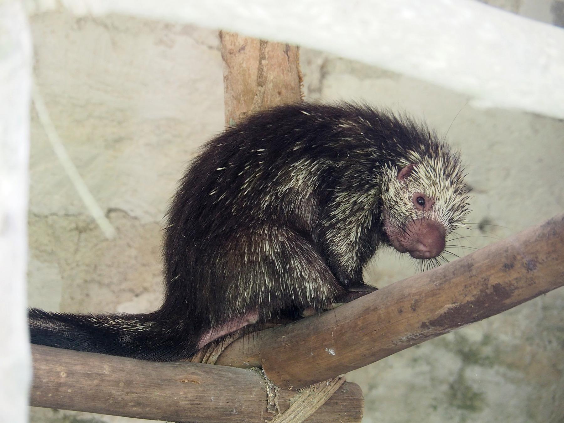 Merkwürdiges Tier in den Ruinen, vielleicht ein Baumstachler