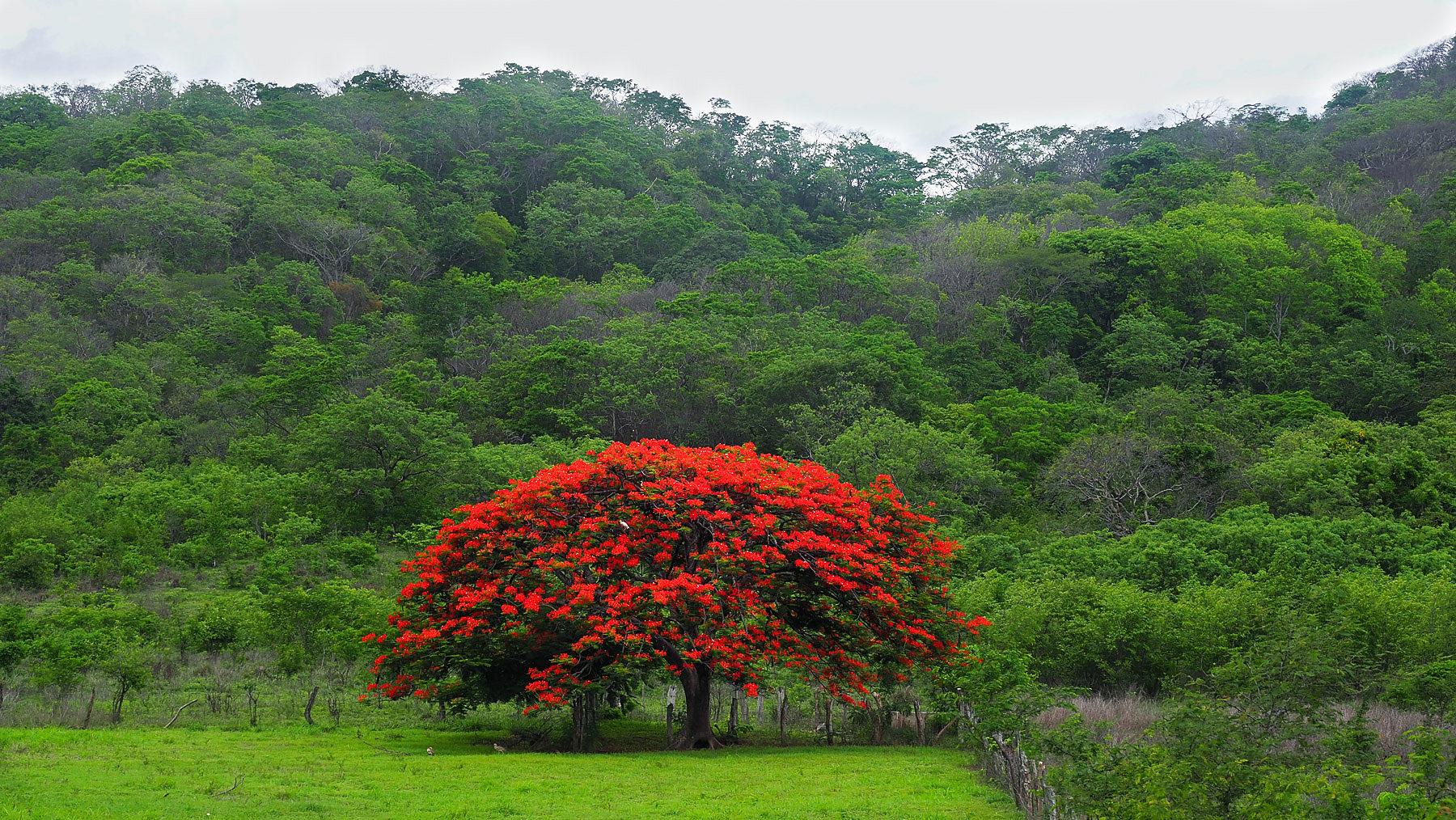 Arbol de fuego, Flammenbaum, sticht heraus aus dem vielen Grün