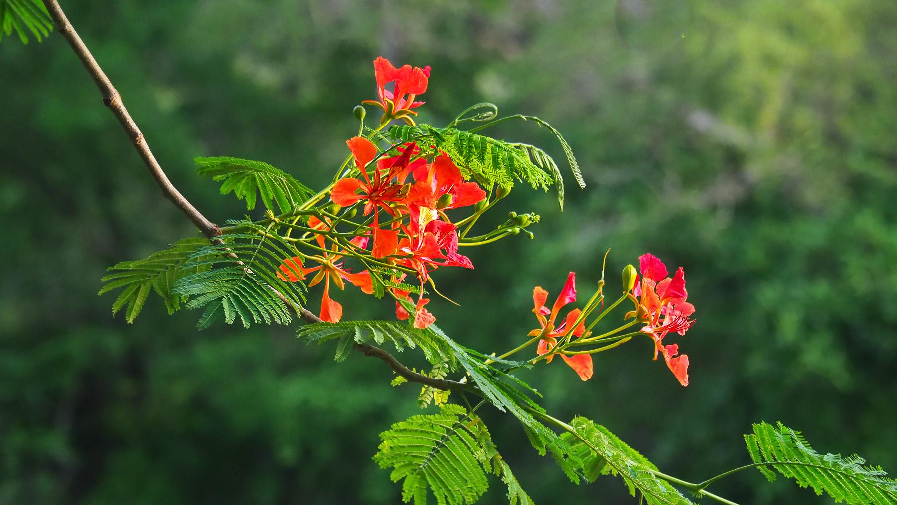 Arbol de fuego Blüten