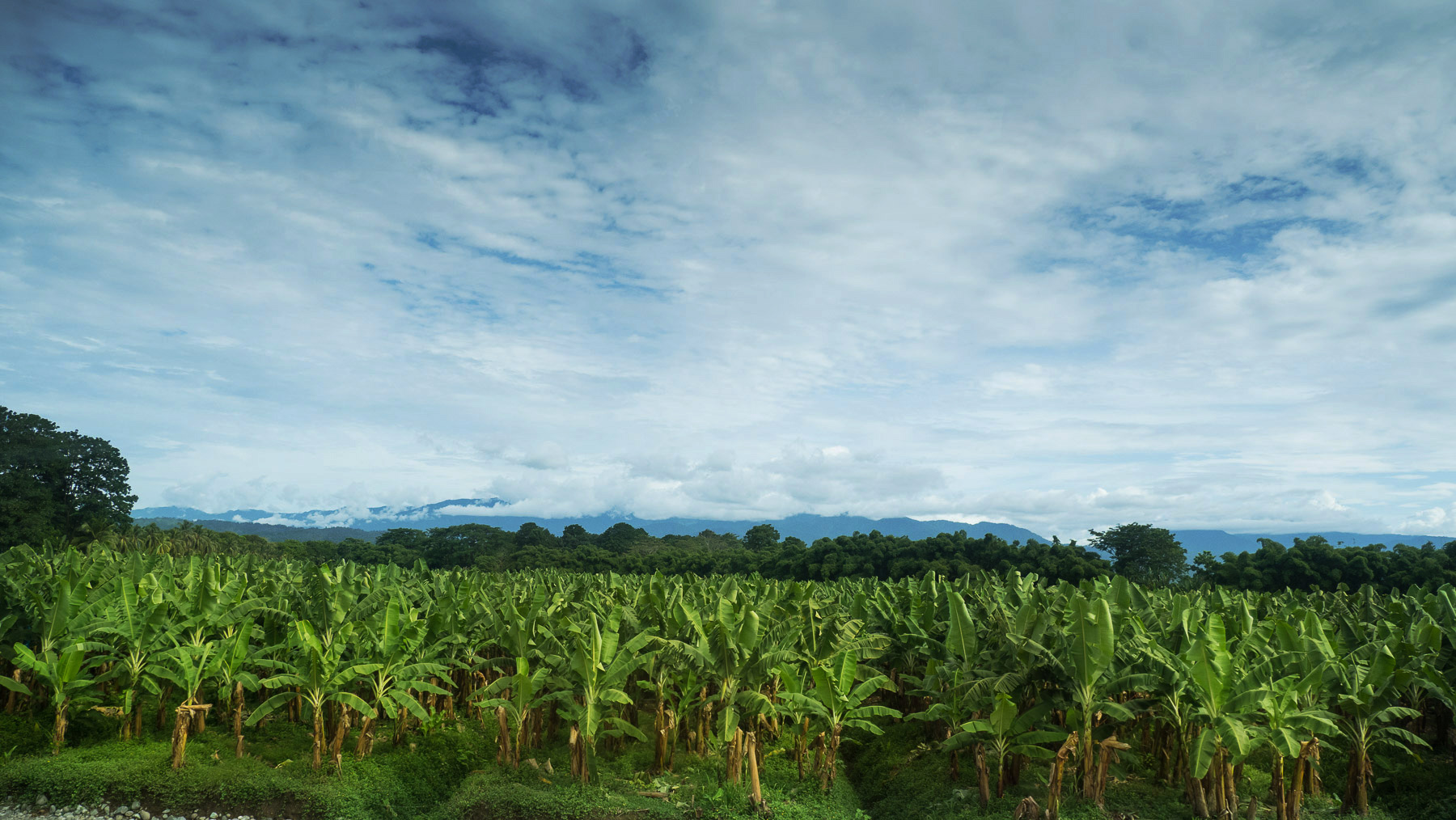 Endlos ziehen sich die Bananenplantagen
