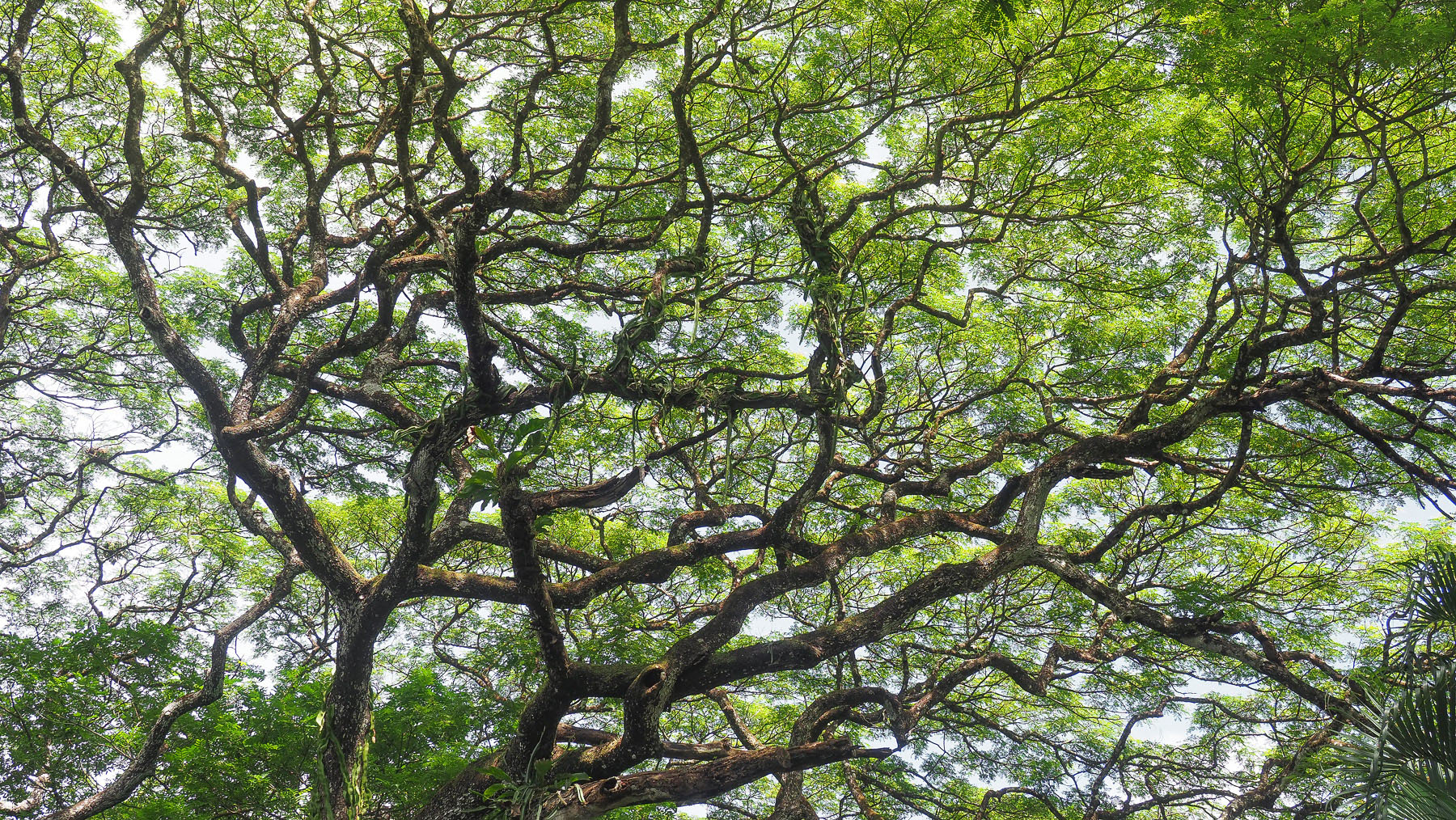 Guanacaste, der Nationalbaum von Costa Rica, ist eindeutig der schönste Baum