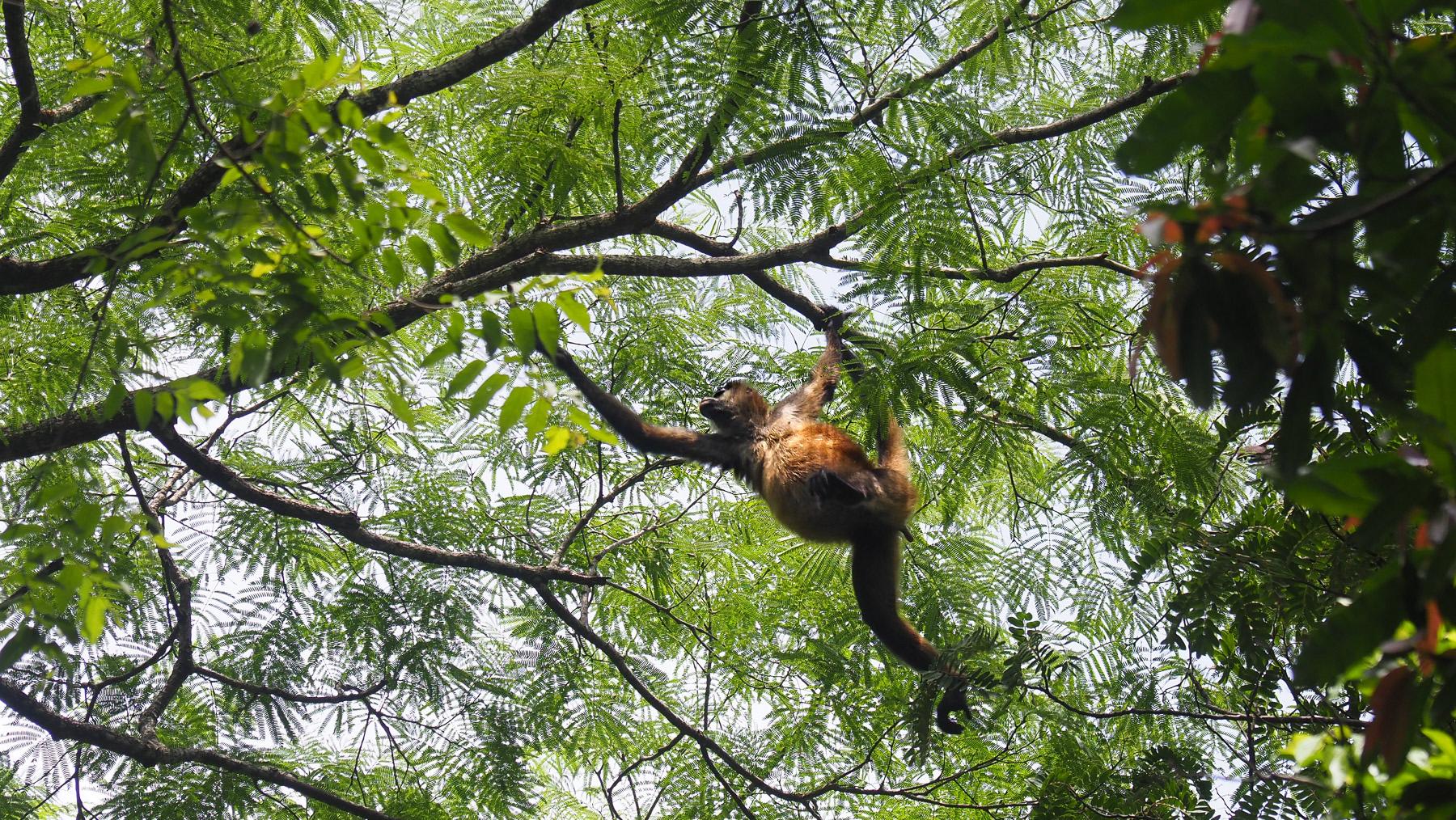 Eine Horde Affen zieht über unserem Übernachtungsplatz durch die Bäume