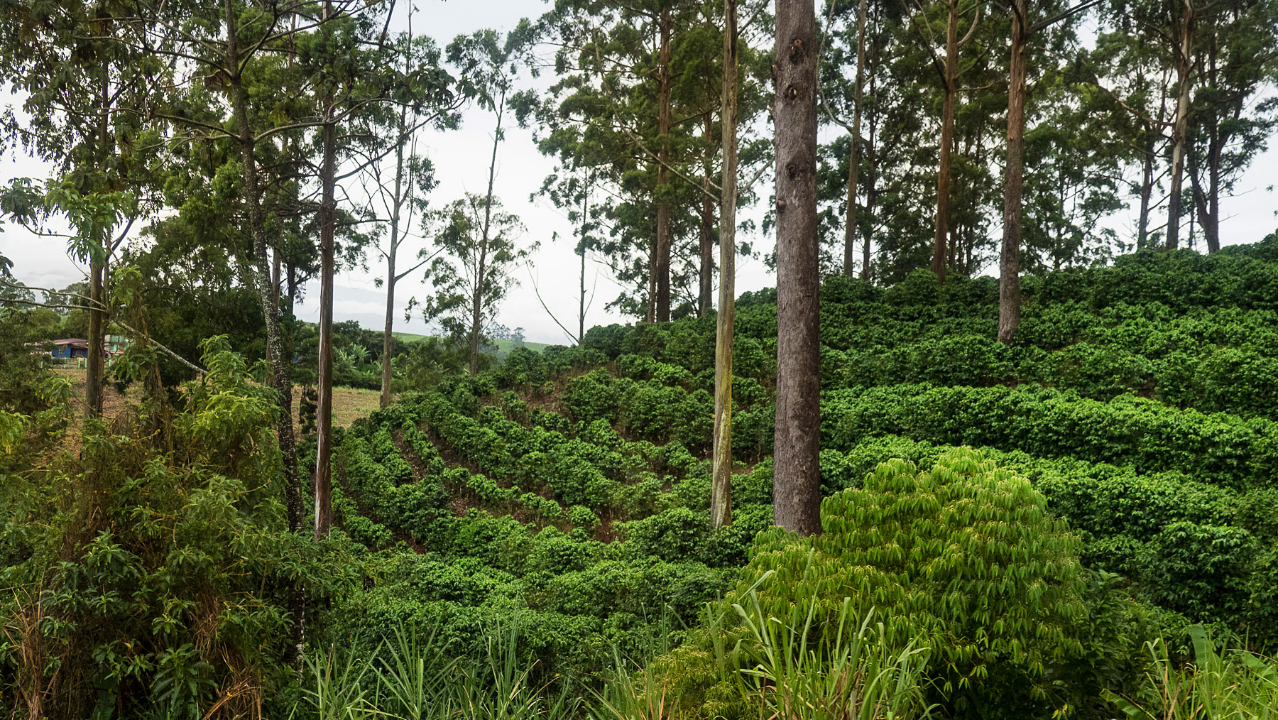 Kaffeeplantagen mit dem berühmten Kaffee aus El Salvador
