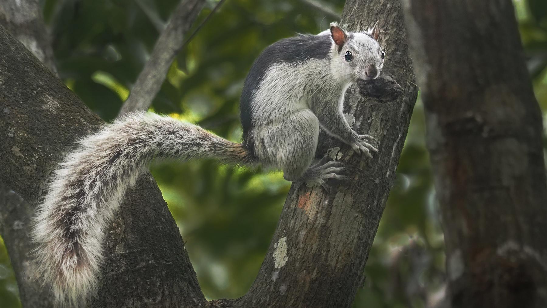 Eichhörnchen sind hier grau, mit einem schwarzen Rückenstreifen